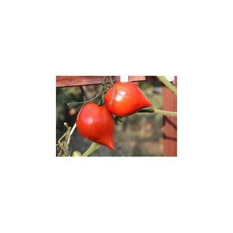 Plant de tomate Tétons de Vénus