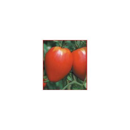 Plant de tomate Noire de Crimée
