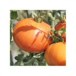 Plant de tomate Carotina