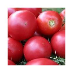 Plant de tomate Rose de Berne