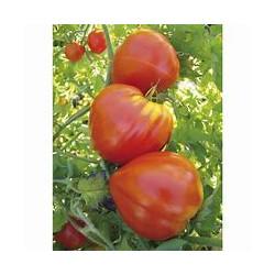 Plant de tomate Petit coeur